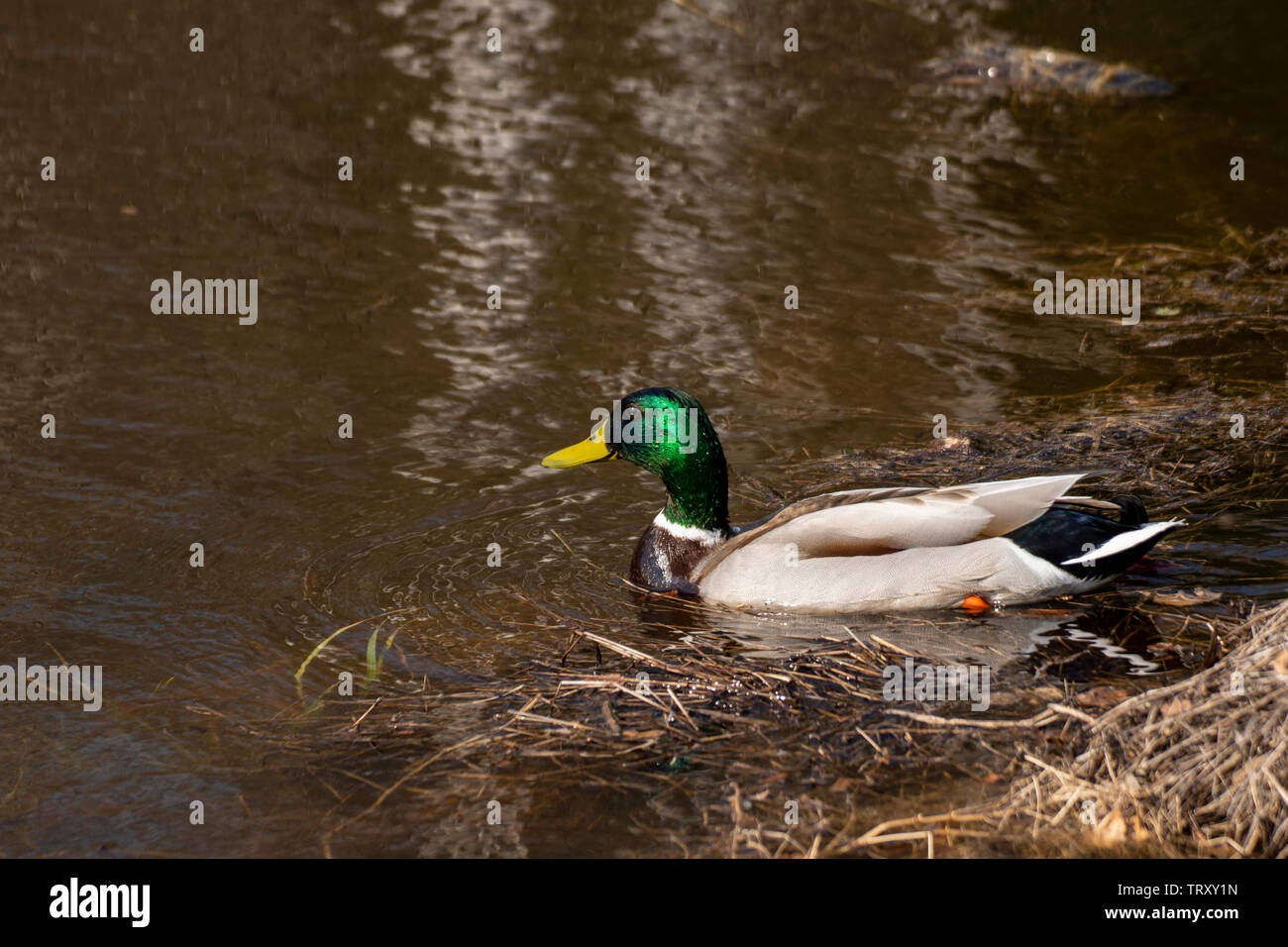 Swimming Mallard (Anas platyrhynchos) with water drops on the feathers, picture from the Northern Sweden. - Stock Image