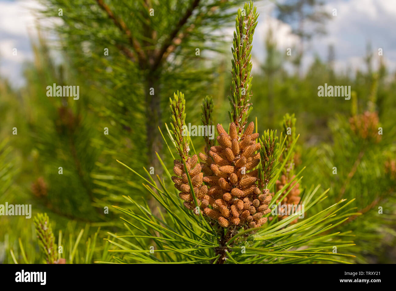 Closeup of pollen containers on a twig from pine (Pinus contorta), picture from Northern Sweden. - Stock Image