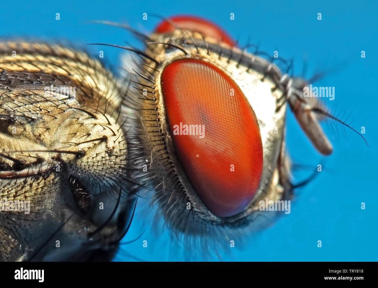 Macro Photography of Housefly Isolated on Background - Stock Image