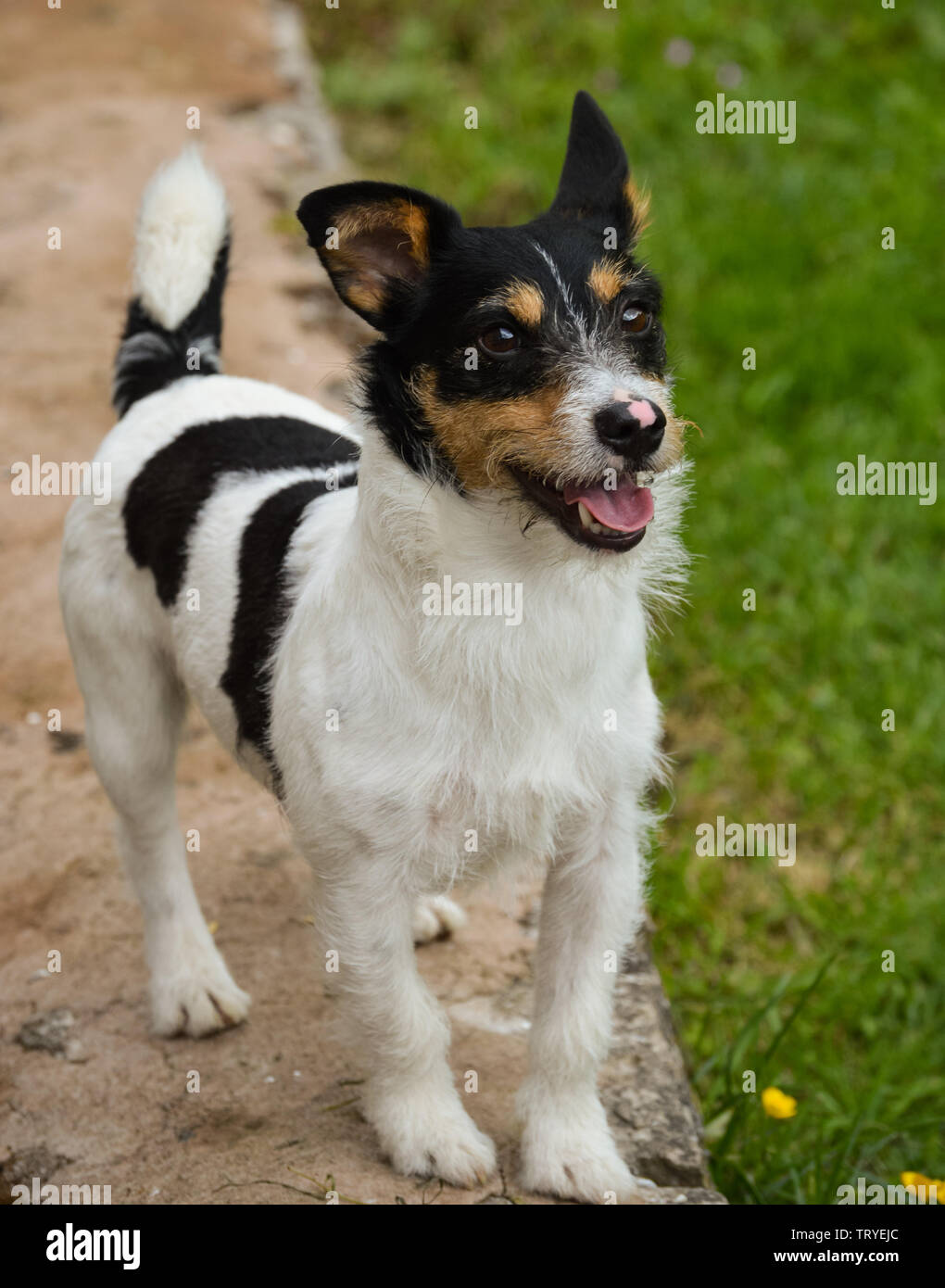 A naughty wire haired black white and brown Jack Russell Terrier dog standing on a wall and plotting mischief - Stock Image