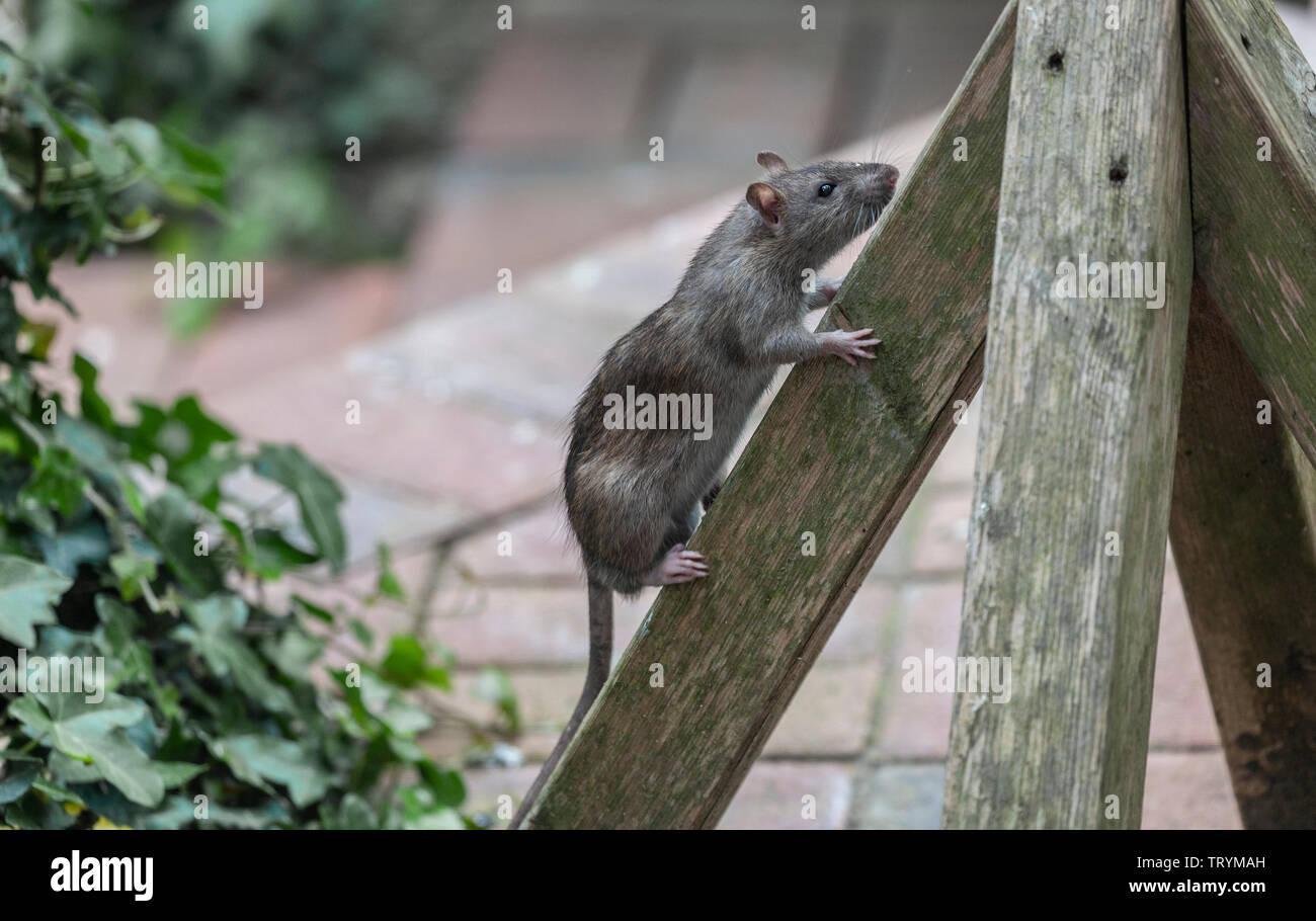 A Brown Rat, Rattus norvegicus, climbing up the base of a bird feeder. - Stock Image