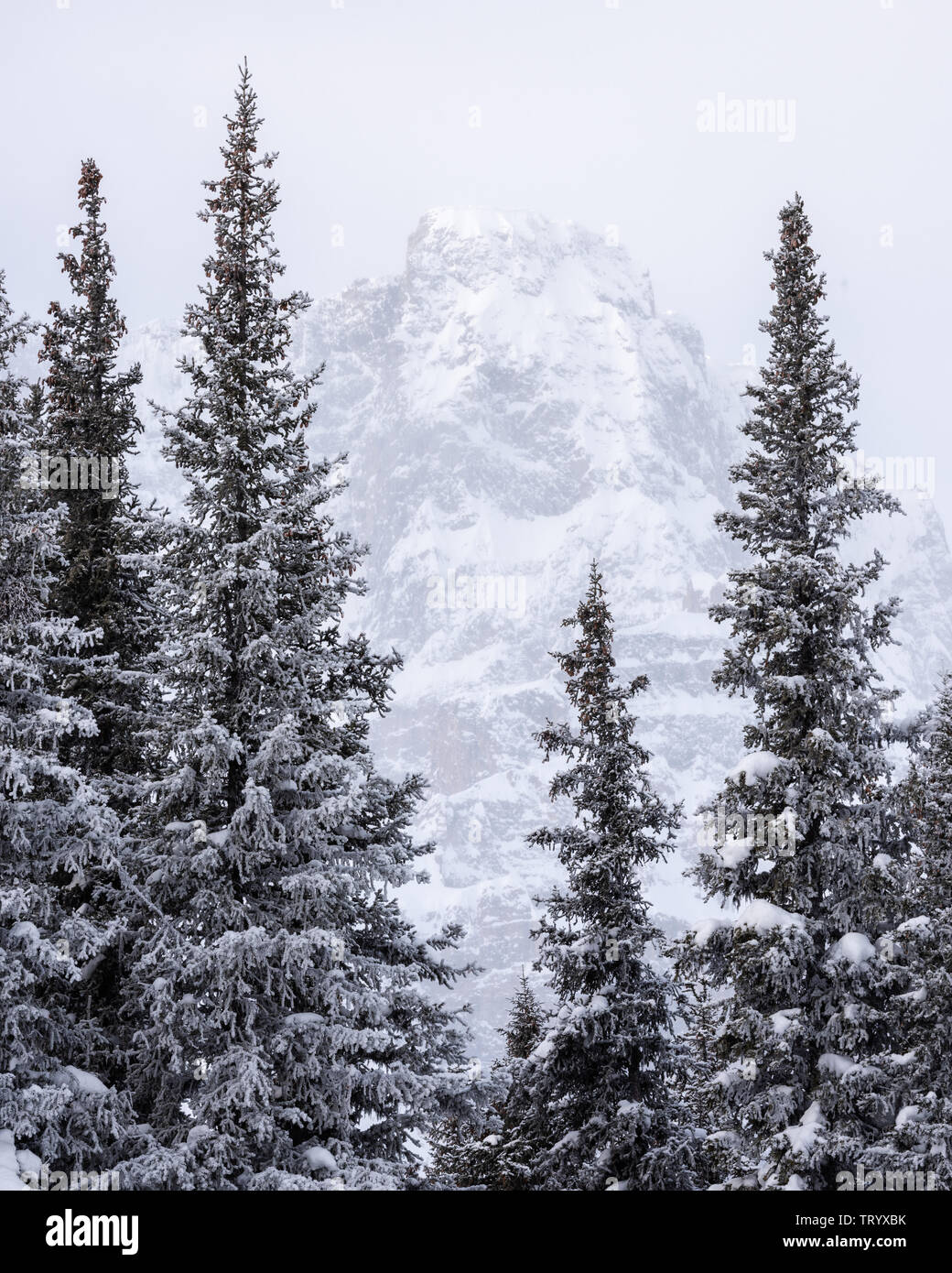 Snow-covered conifer trees in the depth of winter in the Canadian Rockies, Icefields Parkway - Stock Image