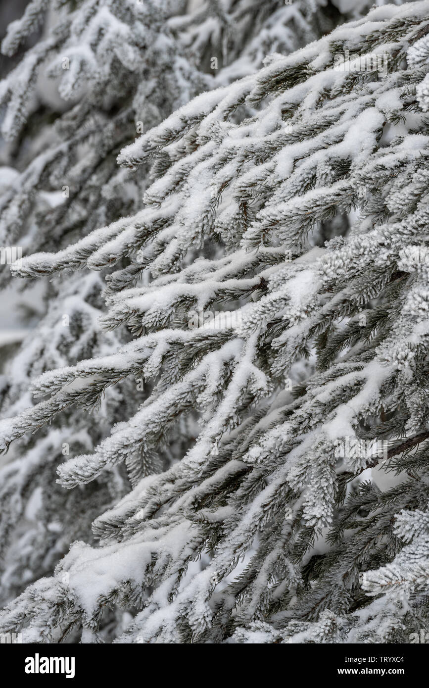 Snow-covered conifer trees in the depth of winter in the Canadian Rockies, Icefields Parkway Stock Photo