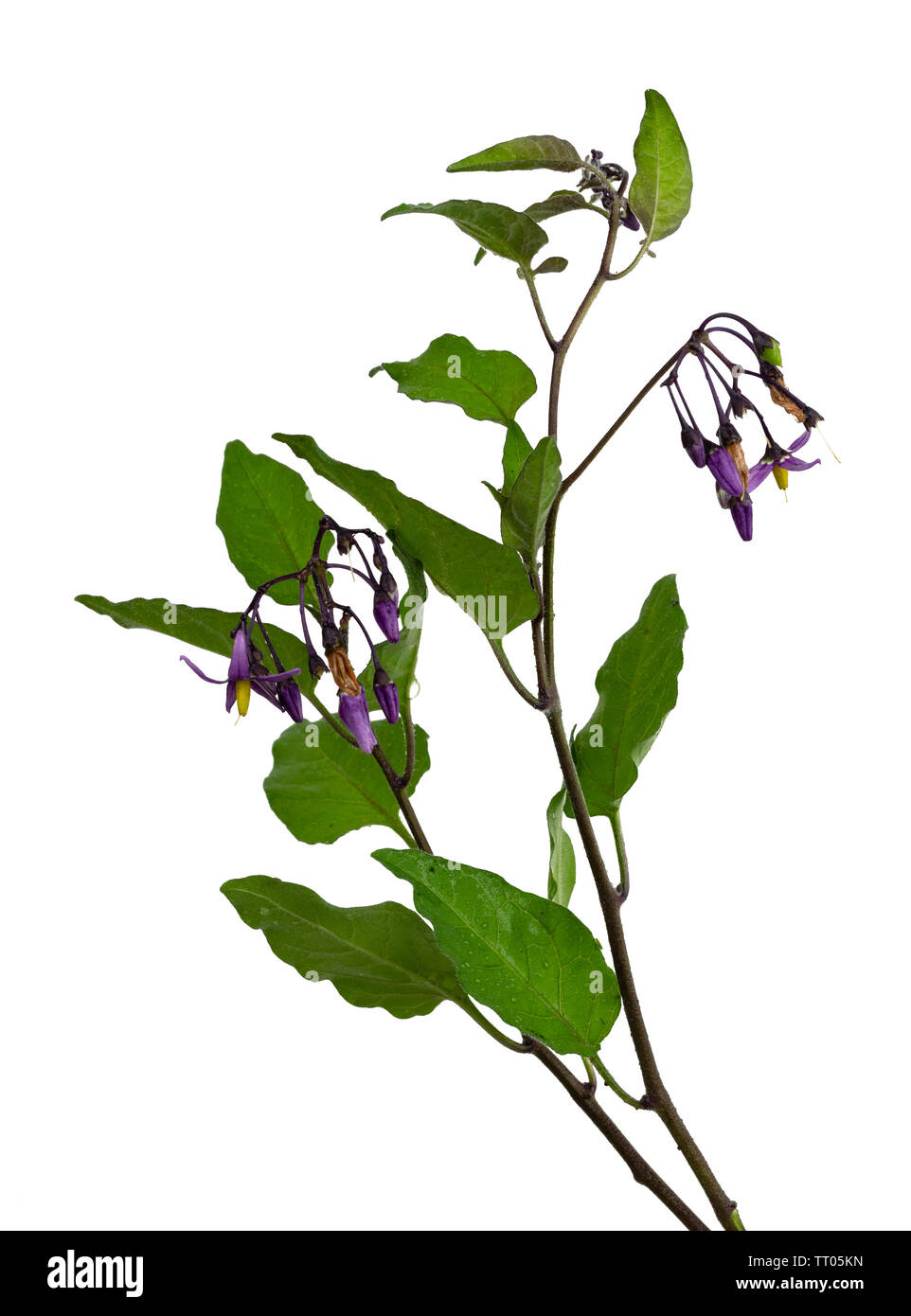 Annual foliage and purple flowers of Solanum dulcamara, woody nightshade, a toxic herbaceous perennial scrambler on a white background - Stock Image