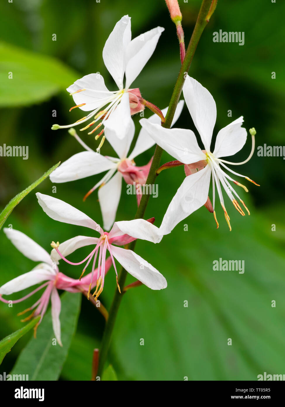 White flowers of the hardy, summer flowering perennial, Gaura lindheimeri 'Whirling Butterflies' - Stock Image
