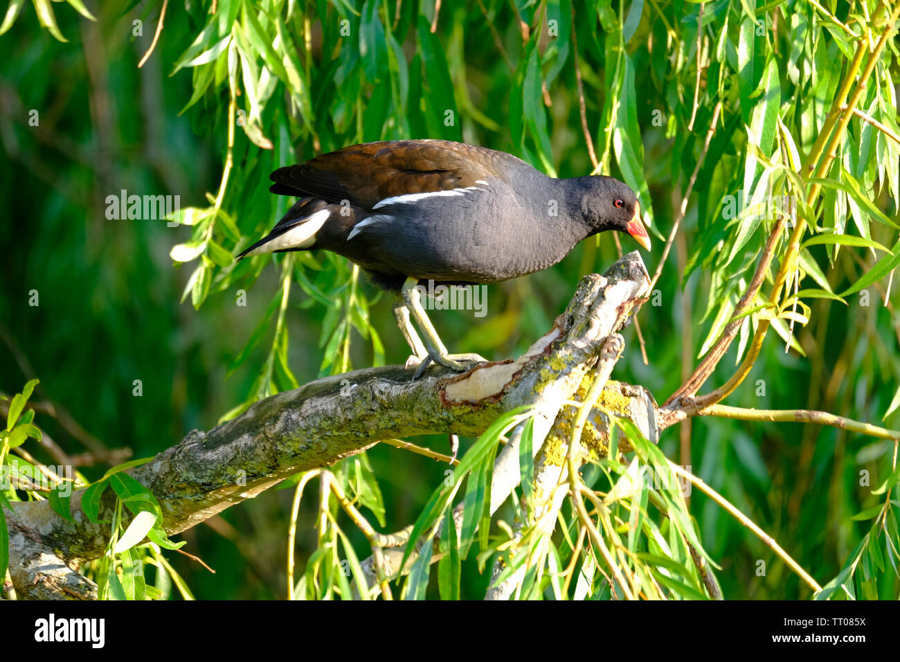 Felpham, West Sussex, UK. A Common Moorhen (Gallinula chloropus) balanced on the branch of a Weeping Willow tree (Salix babylonica). Gender unknown. - Stock Image