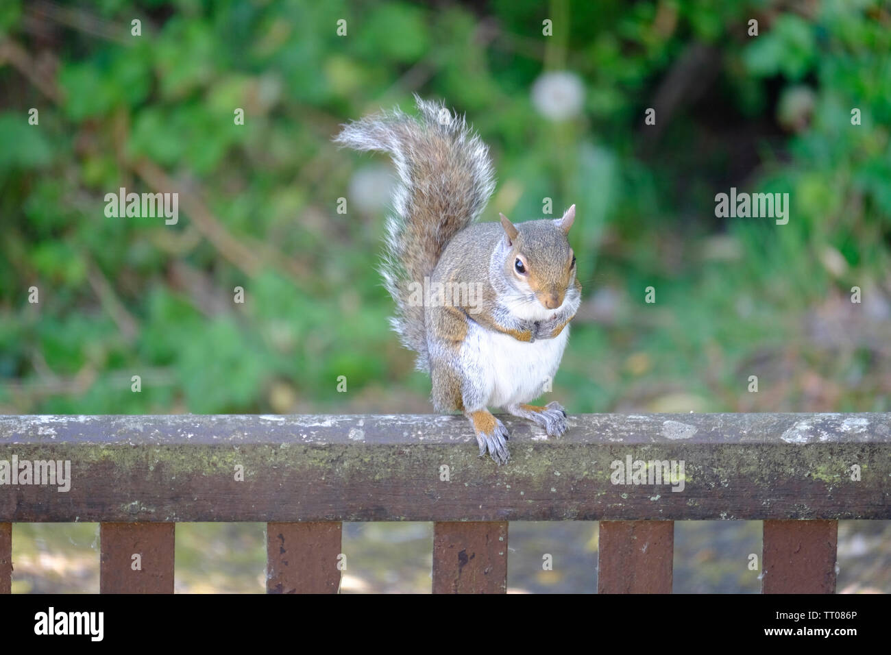 Cute and somewhat overweight little Eastern Grey Squirrel (Sciurus carolinensis) balancing on the back of an old wooden garden seat - Stock Image