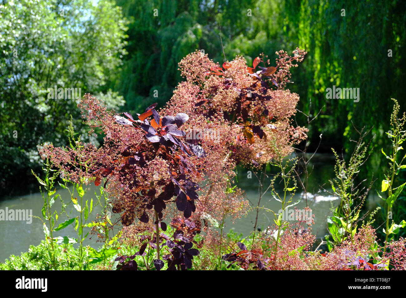 West Sussex, England, UK. Cotinus Coggygria 'Royal Purple' Smoke Tree shrub growing in early summer beside a large garden pond. - Stock Image
