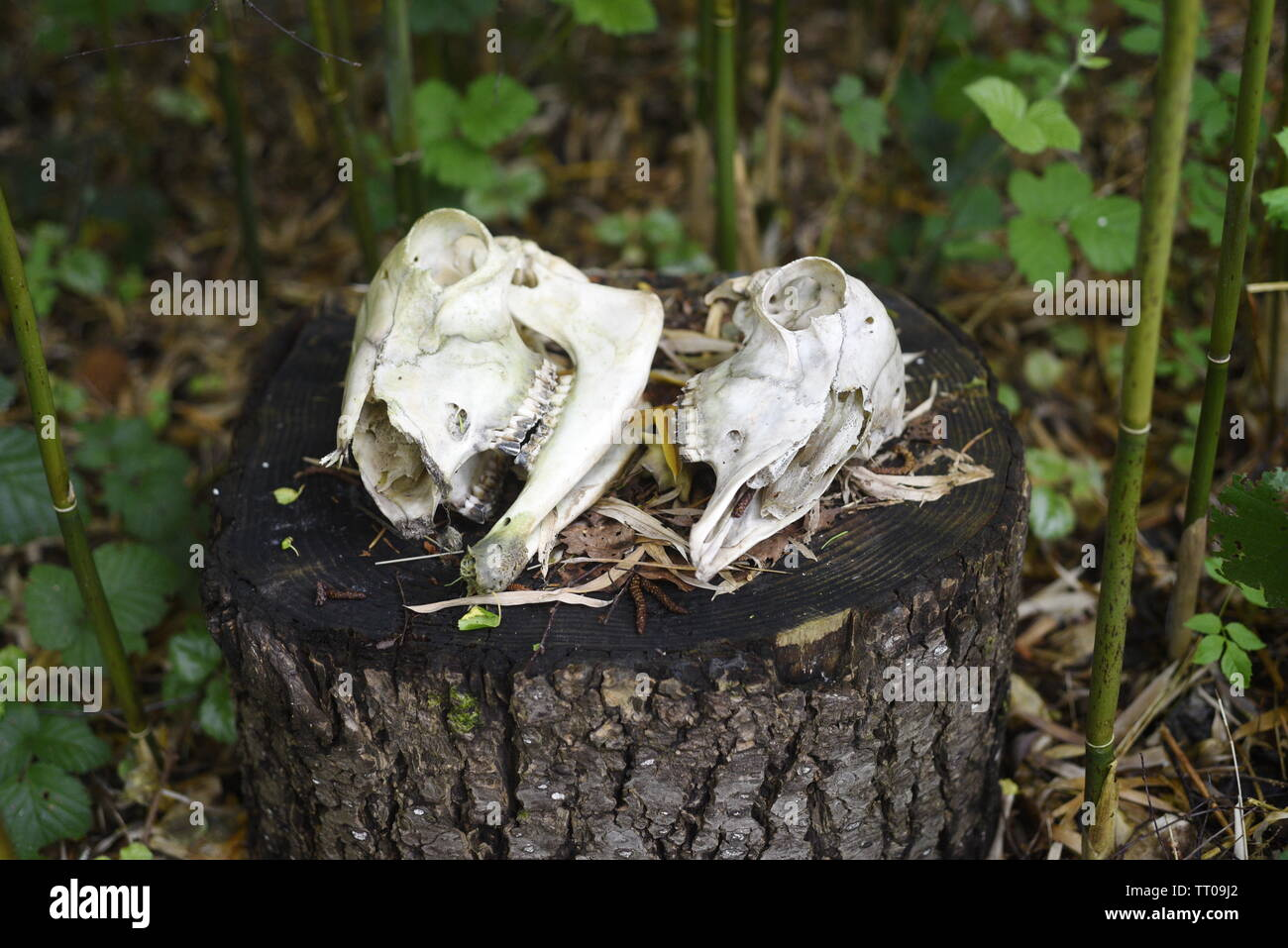 Two small mammal skulls on a tree stump in a bamboo forest - Stock Image