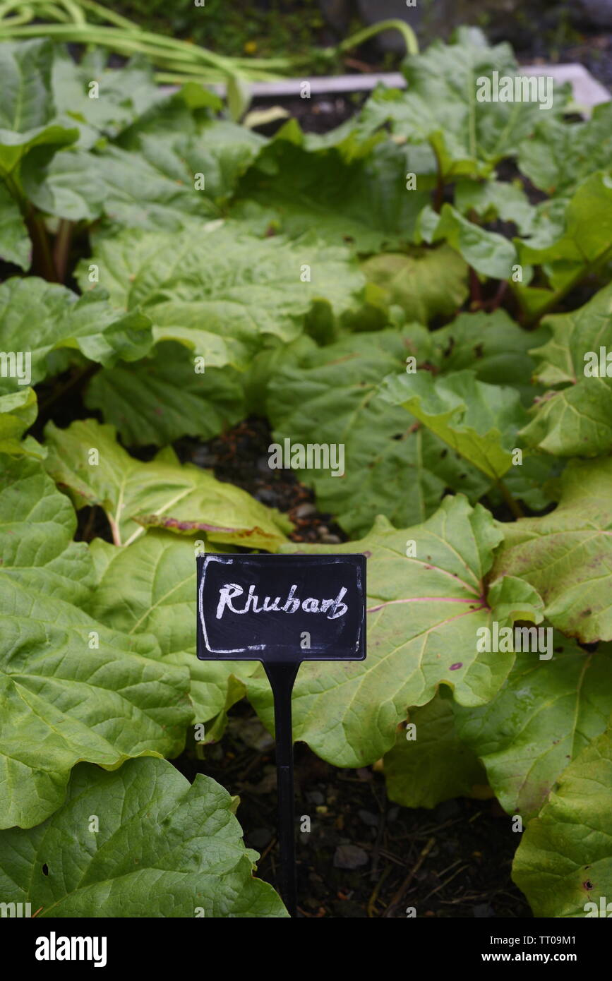 A rhubarb patch on an allotment garden in the UK - Stock Image