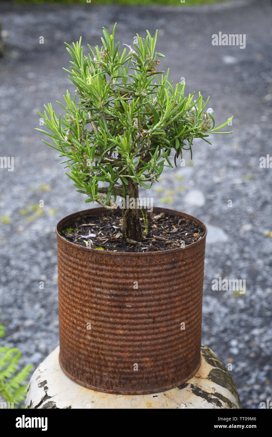 Rosmarinus officinalis, commonly known as rosemary, is a woody, perennial herb with fragrant, evergreen, needle-like leaves and white, pink, purple, o - Stock Image