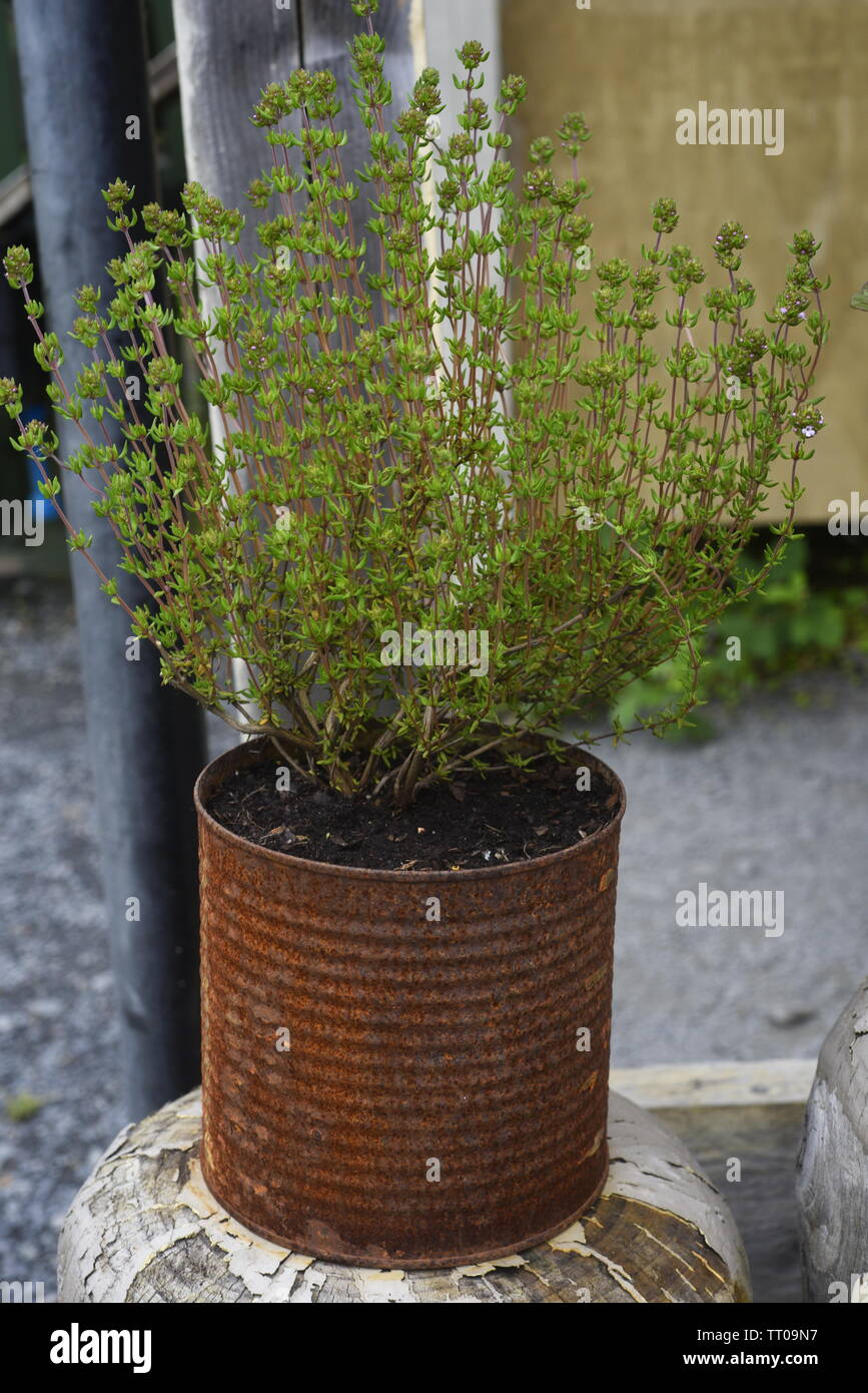 Thyme is any member of the genus Thymus of aromatic perennial evergreen herbs in the mint family Lamiaceae. Thymes are relatives of the oregano genus - Stock Image