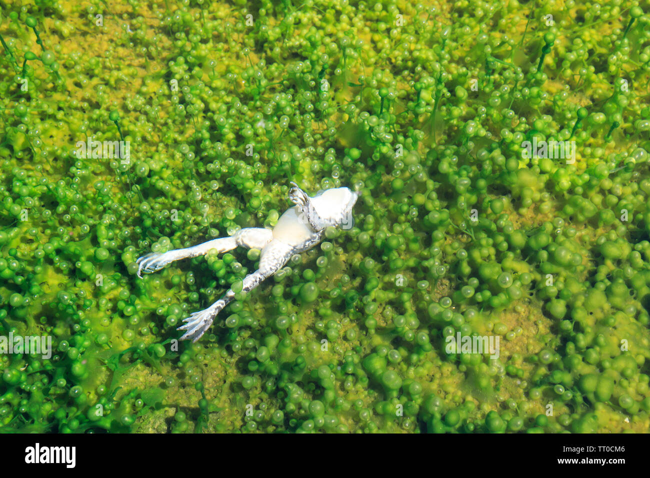 Dead frog in the water. Rana temporaria - Stock Image