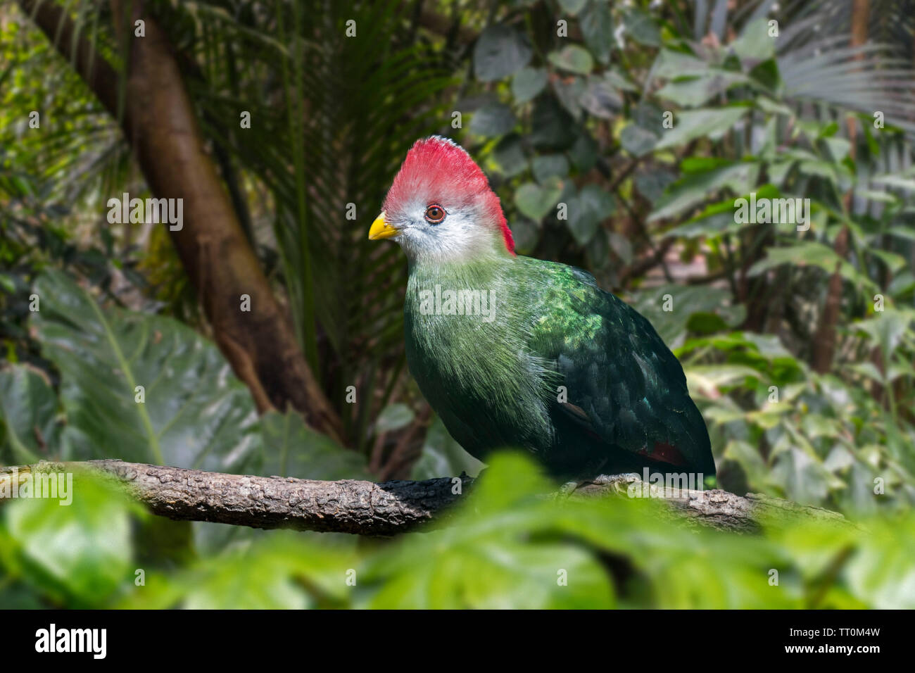Red-crested turaco (Tauraco erythrolophus) perched in tree, frugivorous bird endemic to western Angola, Africa Stock Photo