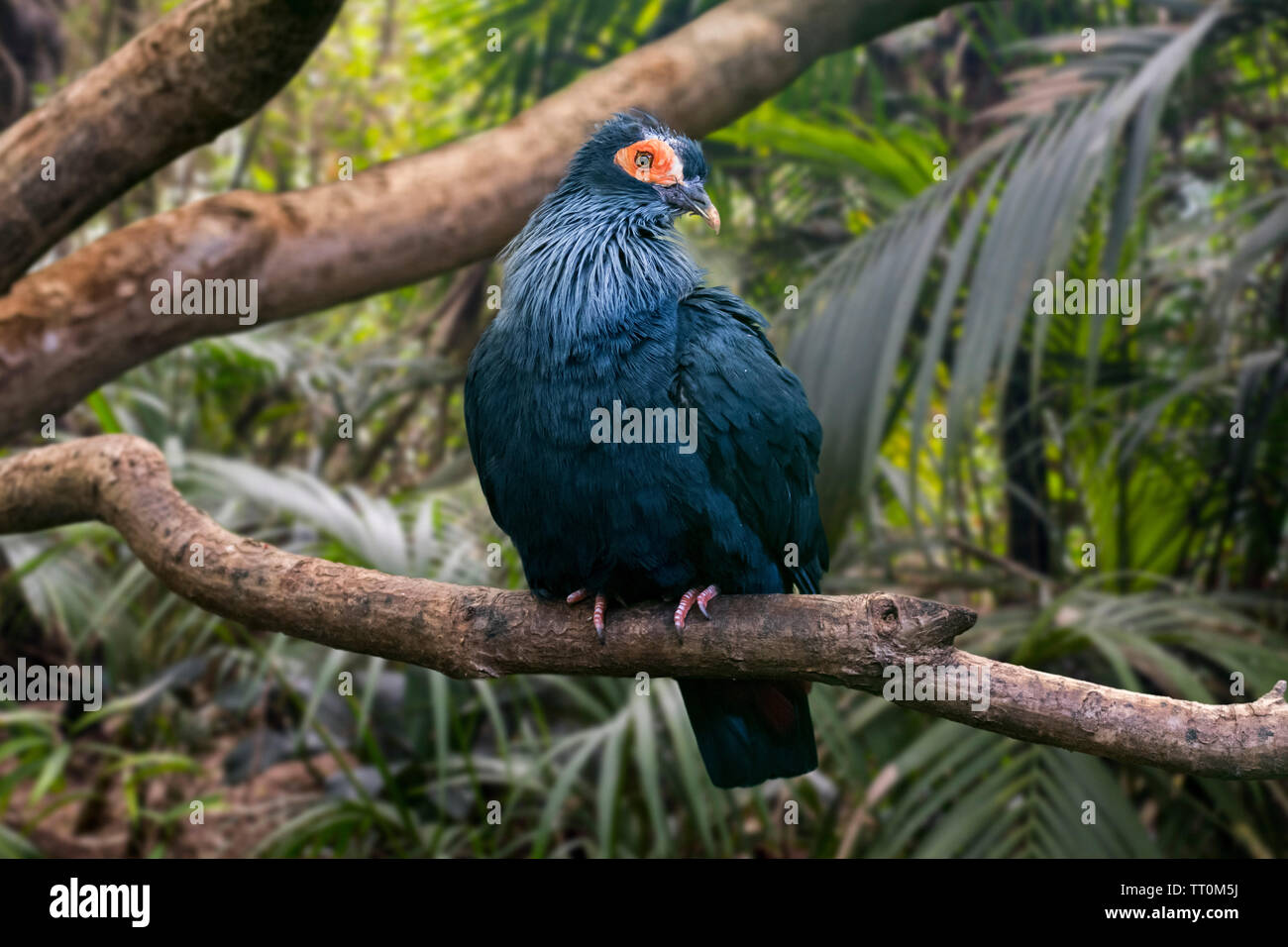 Madagascan blue pigeon / Madagascar blue-pigeon (Alectroenas madagascariensis) perched in tree, native to northern and eastern Madagascar, Africa - Stock Image
