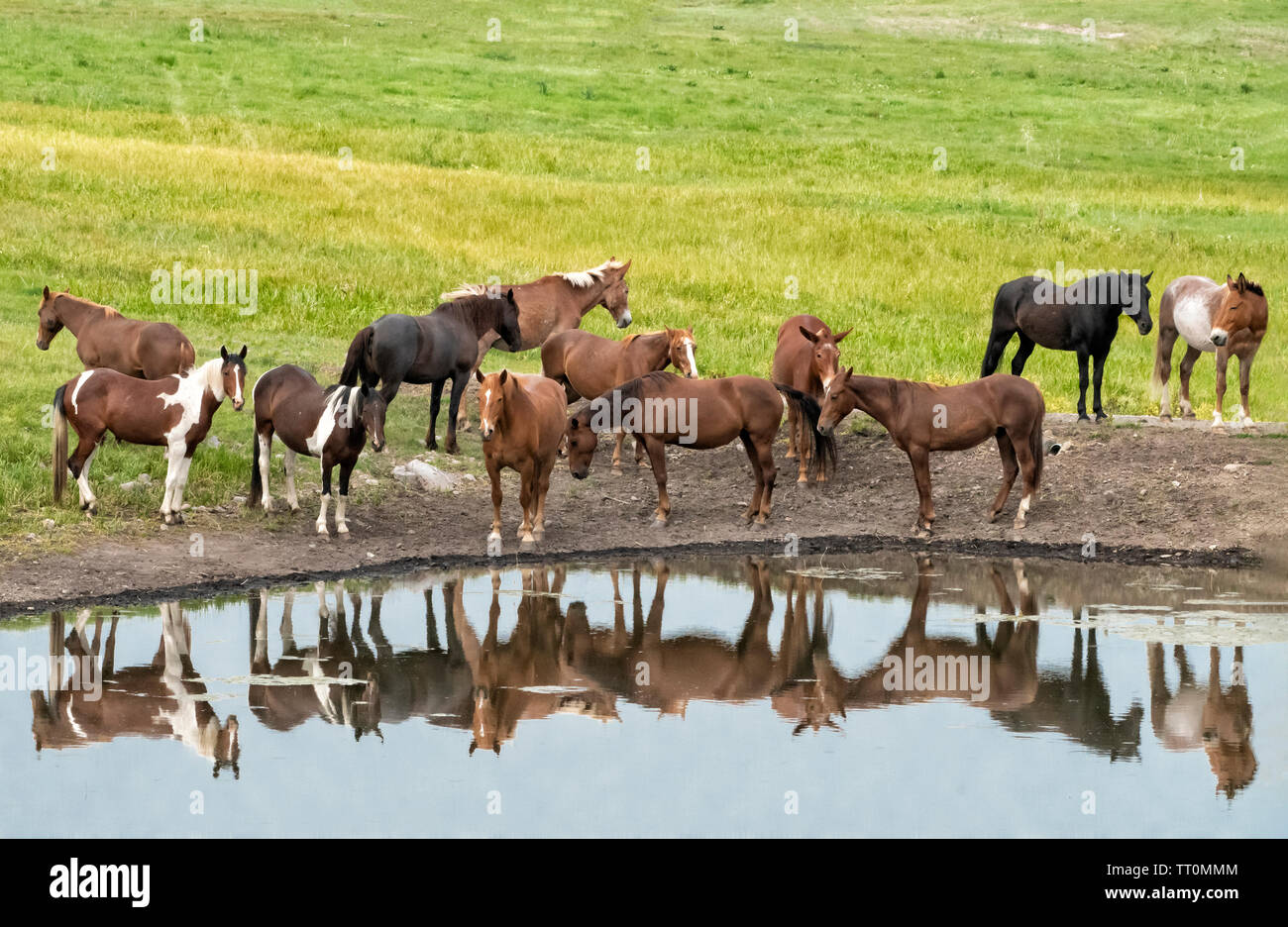 North America; United States; Montana; Ranching; Ranch Animals; Horses and Mules. Stock Photo