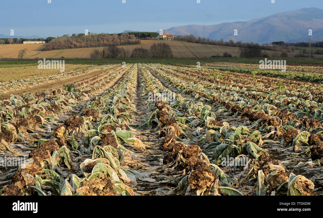 Tuscany, Italy, January 20, agricultural field with cabbage ...