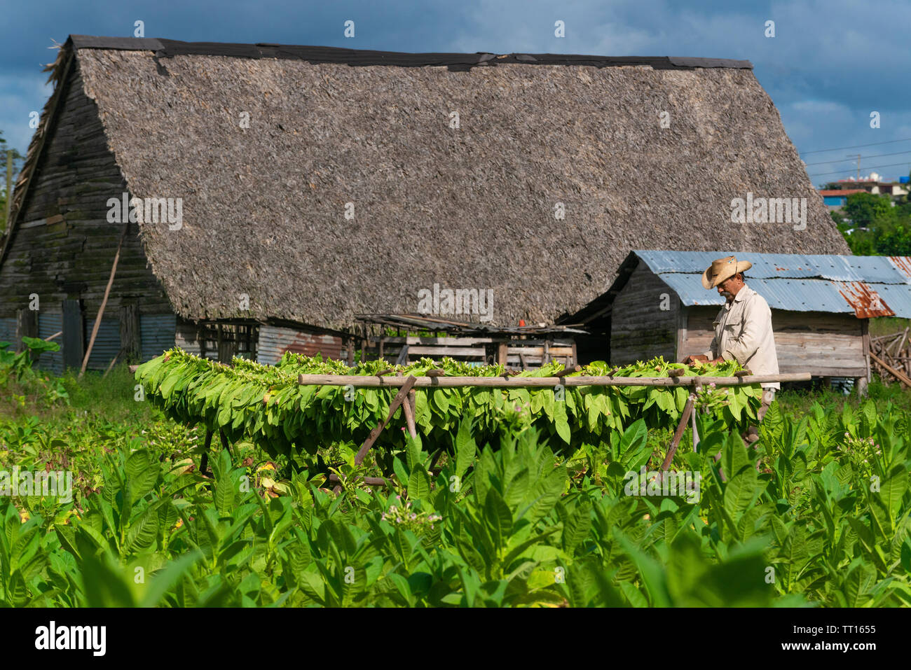 Tobacco farmer working in his field in front of a drying house(secadero) in the Vinales Valley, Vinales, Pinar del Rio Province,Cuba, Caribbean - Stock Image