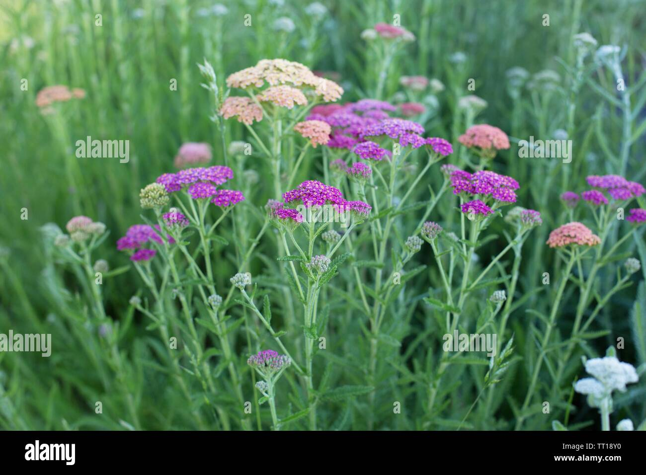 Multi-colored yarrow flower growing in a garden. - Stock Image