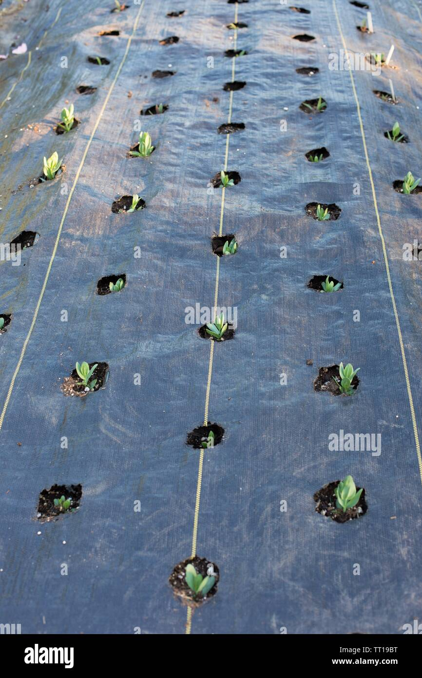 A garden using black plastic sheeting to prevent weeds. - Stock Image