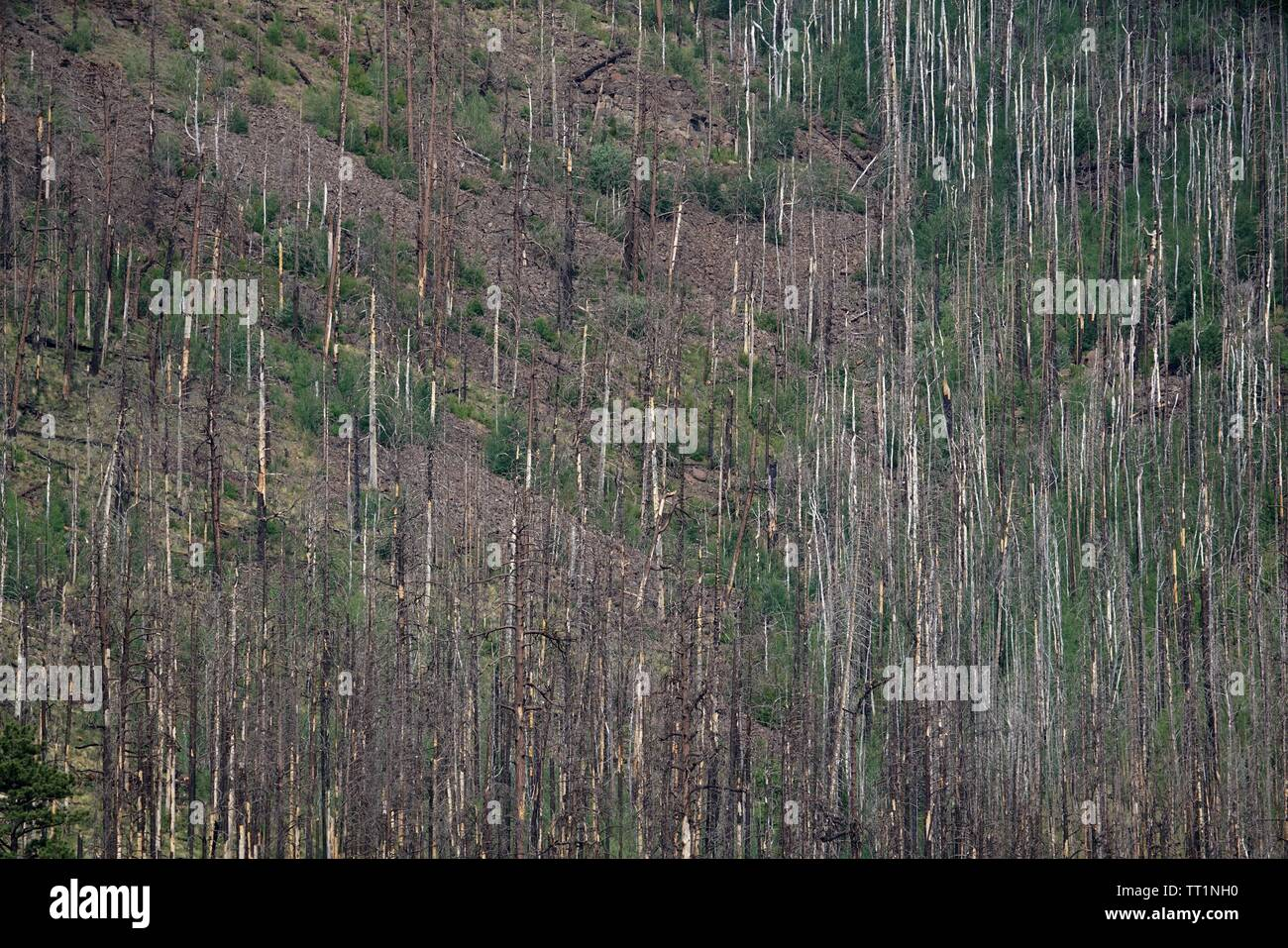 Dead trees remain after a wildfire scorched the area. - Stock Image