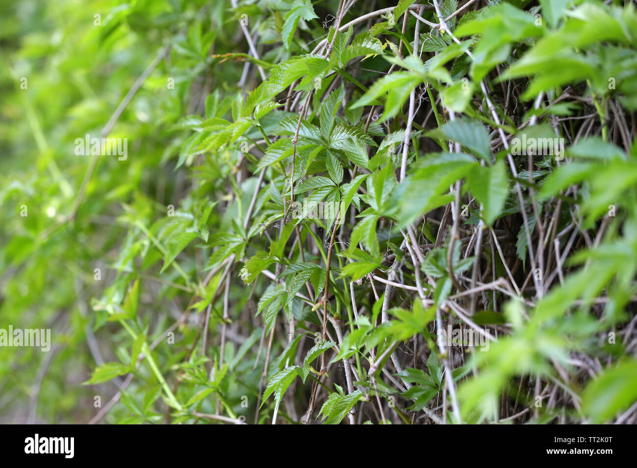 Green ivy leaves wall - Stock Image