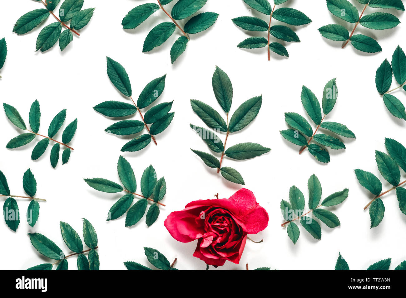 Flowers composition. Frame made of red rose flowers and green little leaves on white background. Many little leaves for decorating any post card or ce Stock Photo