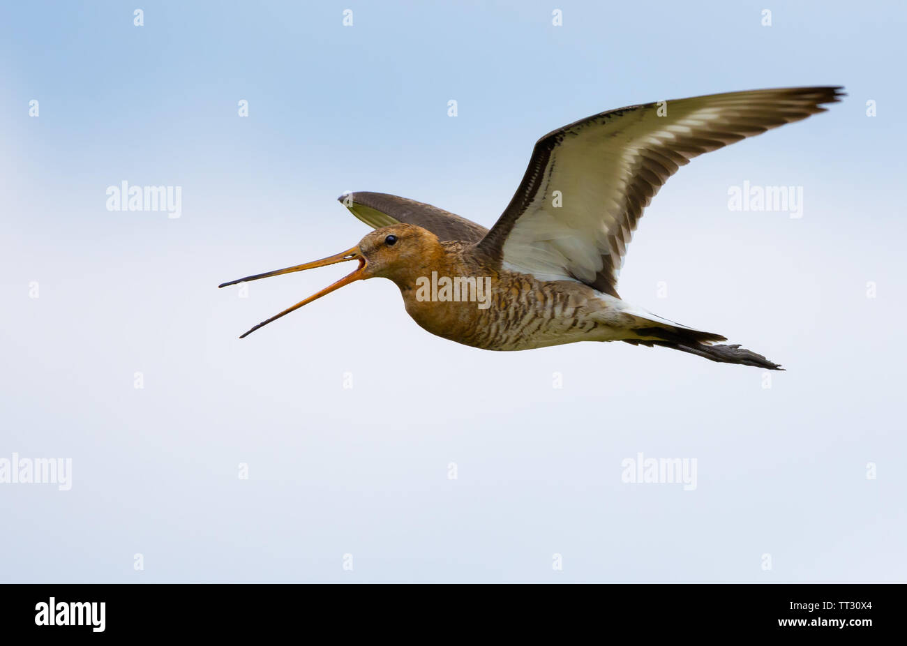 Black-tailed godwit flying and crying very loudly - Stock Image