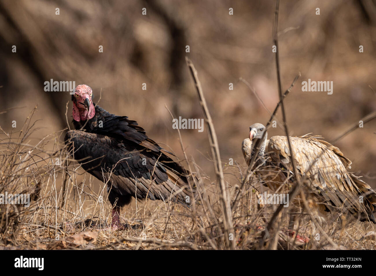 red headed vulture or sarcogyps calvus or pondicherry vulture close up with expression at Ranthambore Tiger Reserve National Park , Rajasthan Stock Photo