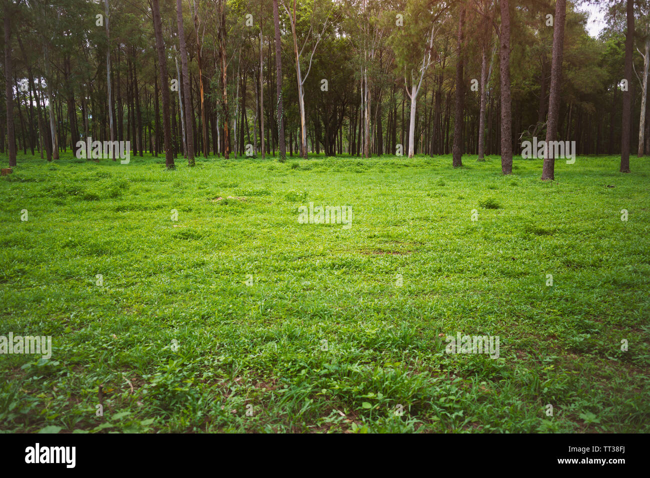 Beautiful woods forest with green nature. - Stock Image
