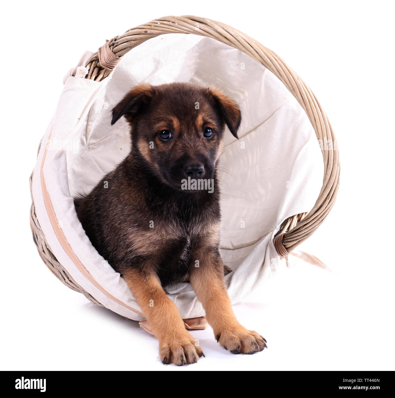 Funny puppy in round braided basket isolated on white - Stock Image