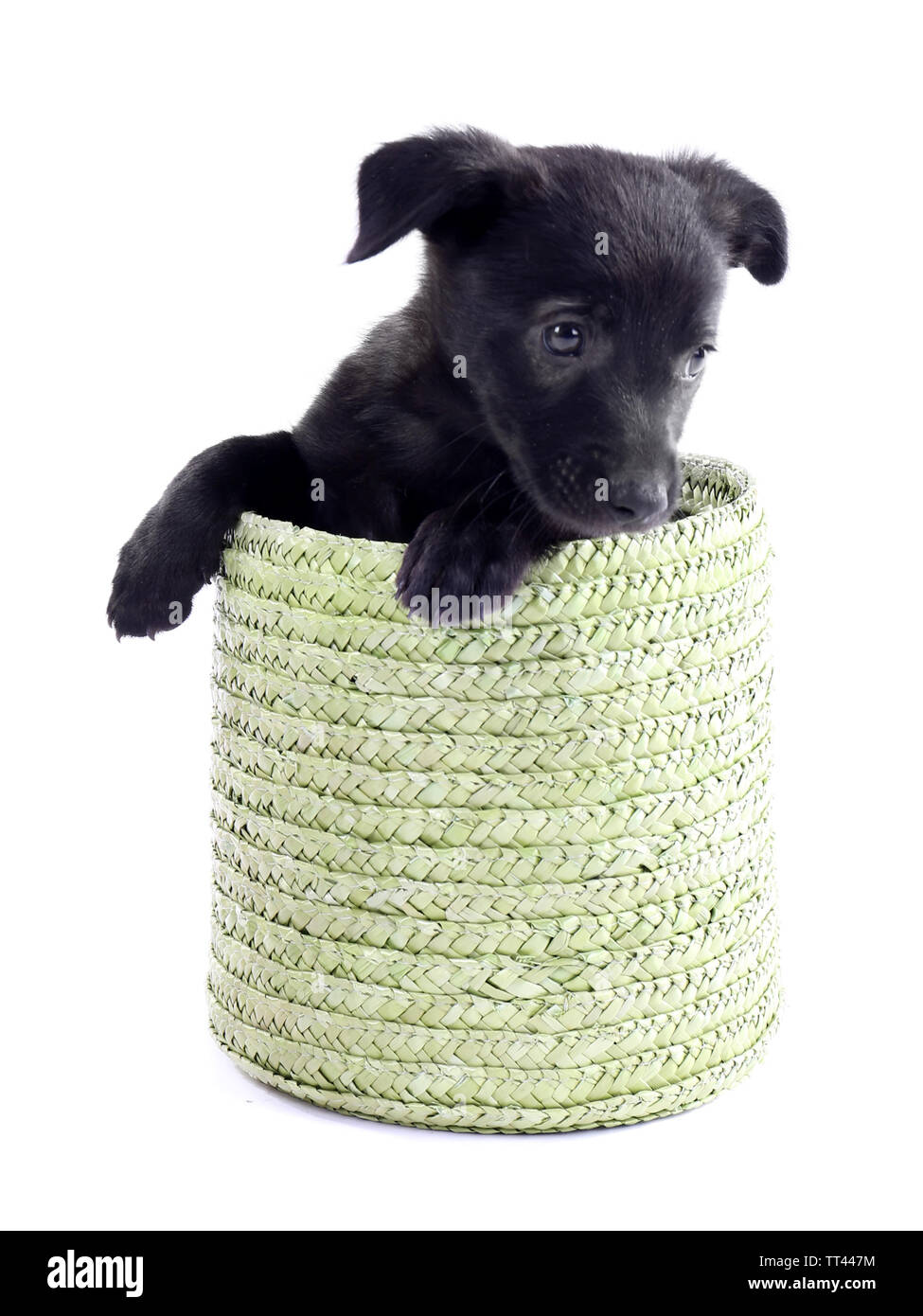 Funny puppy in a round basket isolated on white - Stock Image