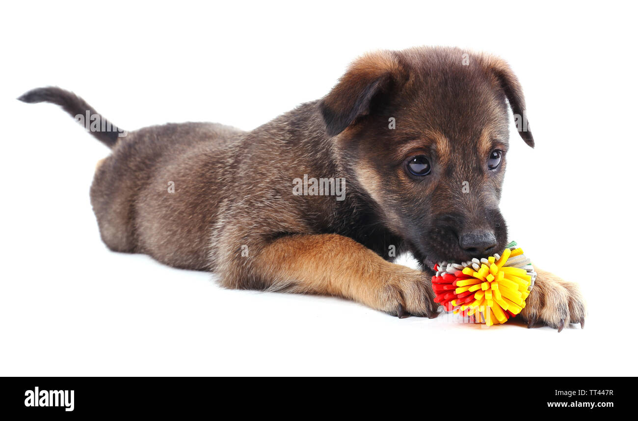 Puppy playing with a toy isolated on white - Stock Image