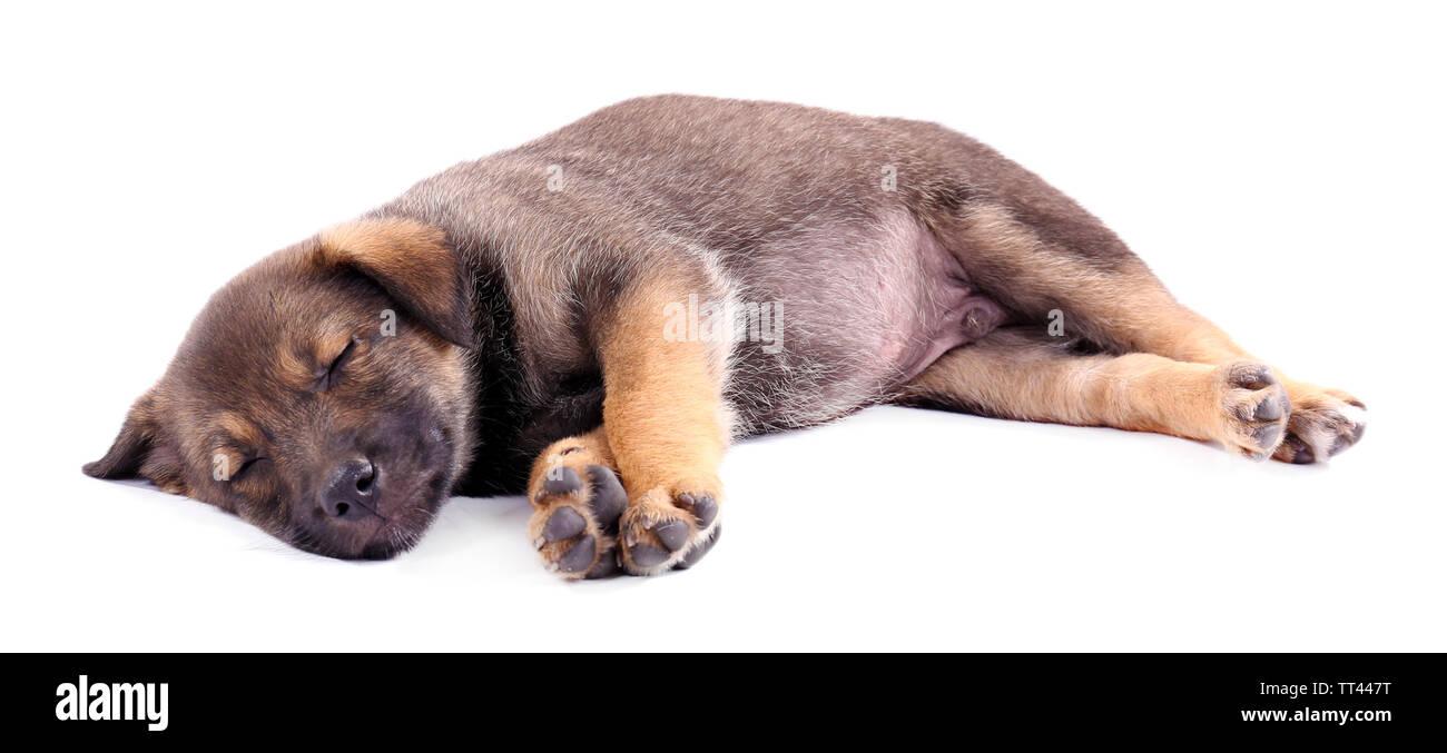 Sleeping puppy isolated on white - Stock Image