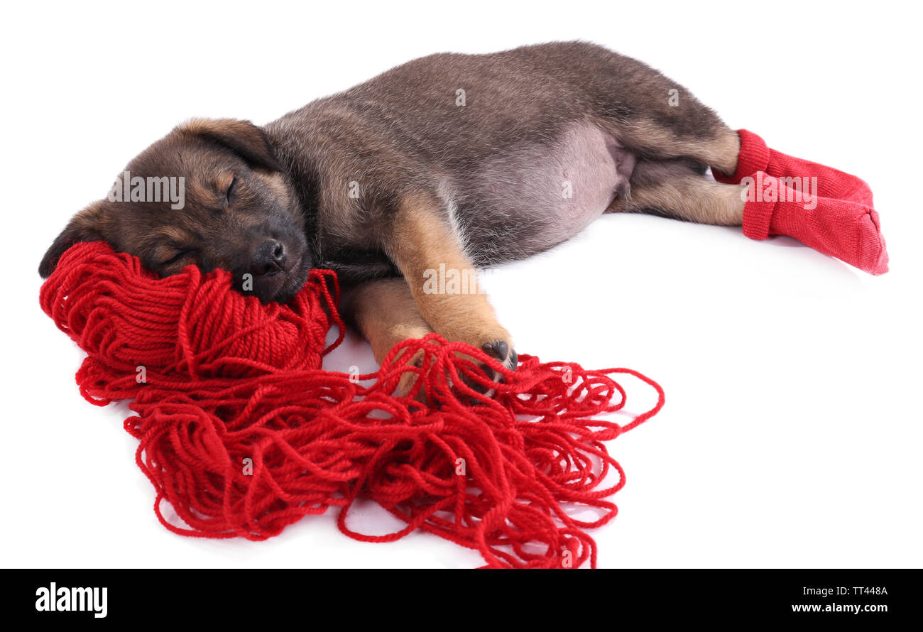Puppy in red socks sleeping on a hank of red yarn isolated on white - Stock Image