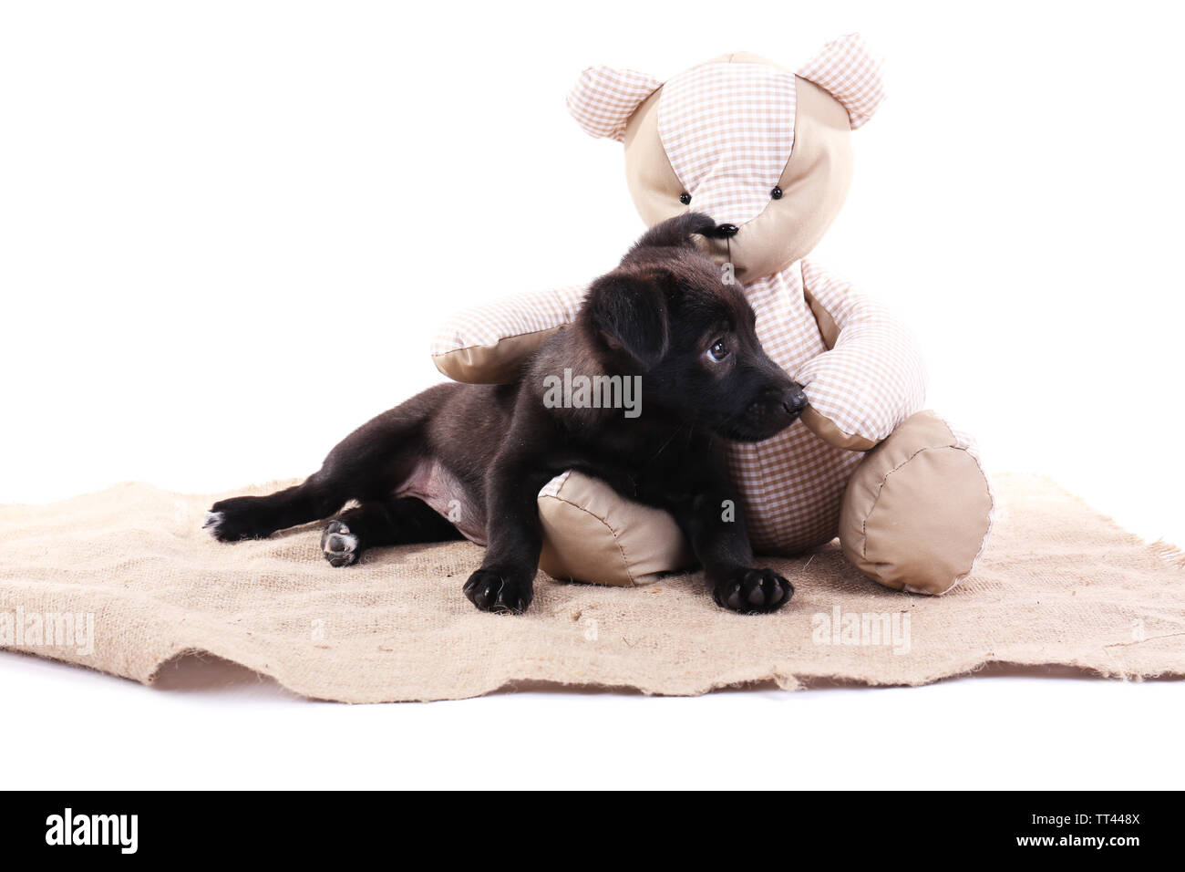 Black puppy playing with toy bear on a piece of sacking isolated on white - Stock Image