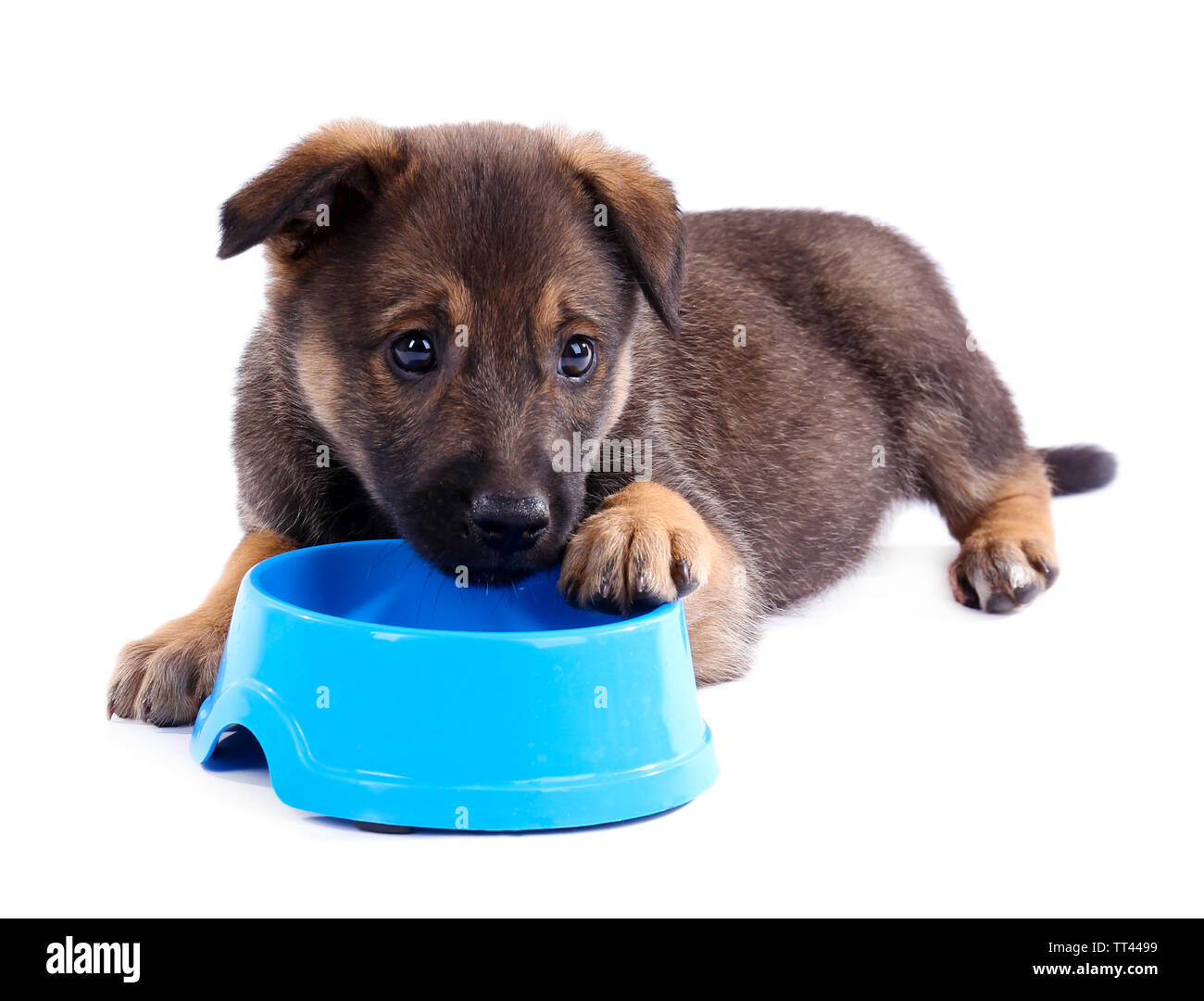 Puppy and empty blue bowl isolated on white - Stock Image