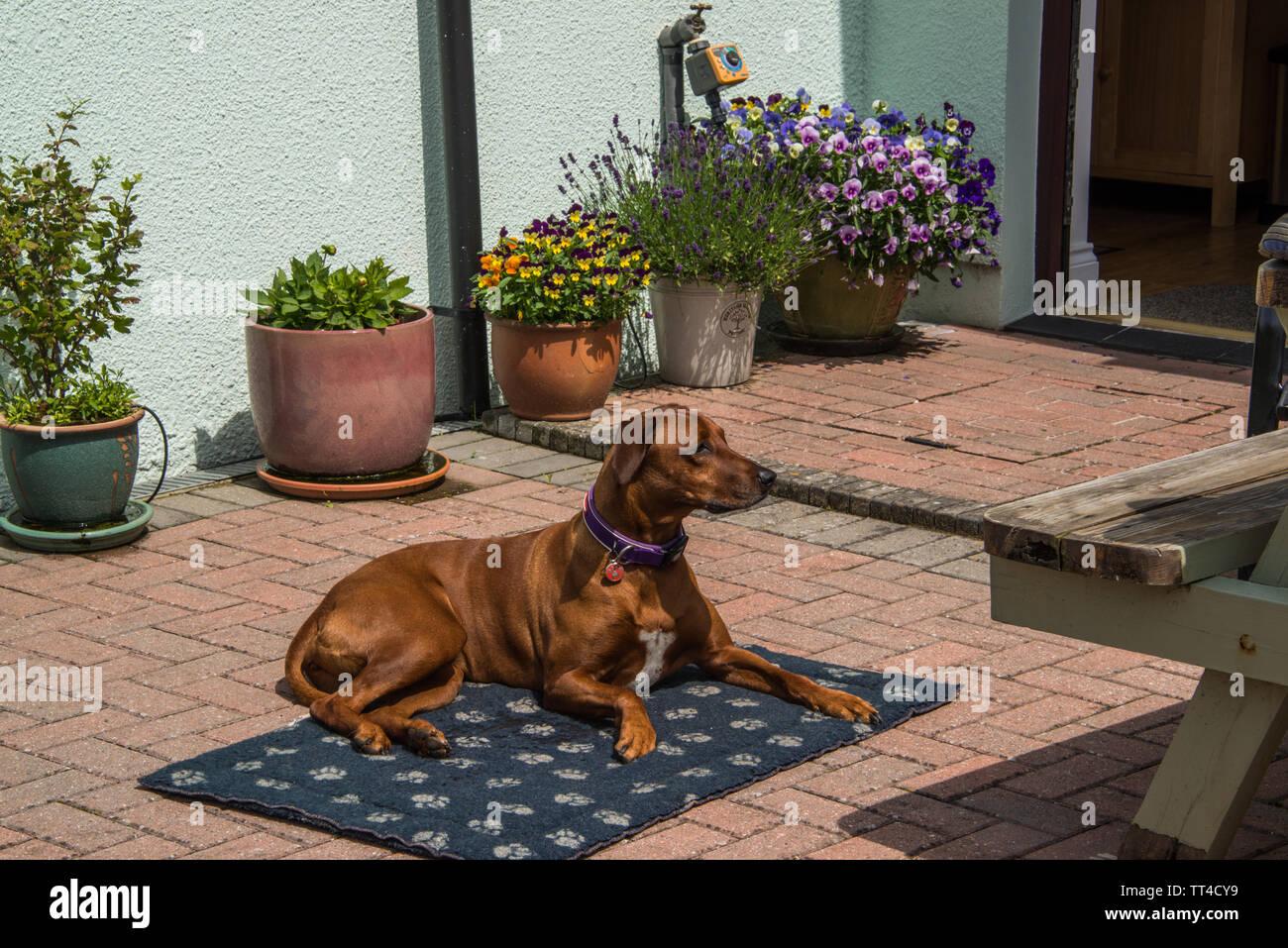 A Rhodesian Ridgeback Dog. - Stock Image