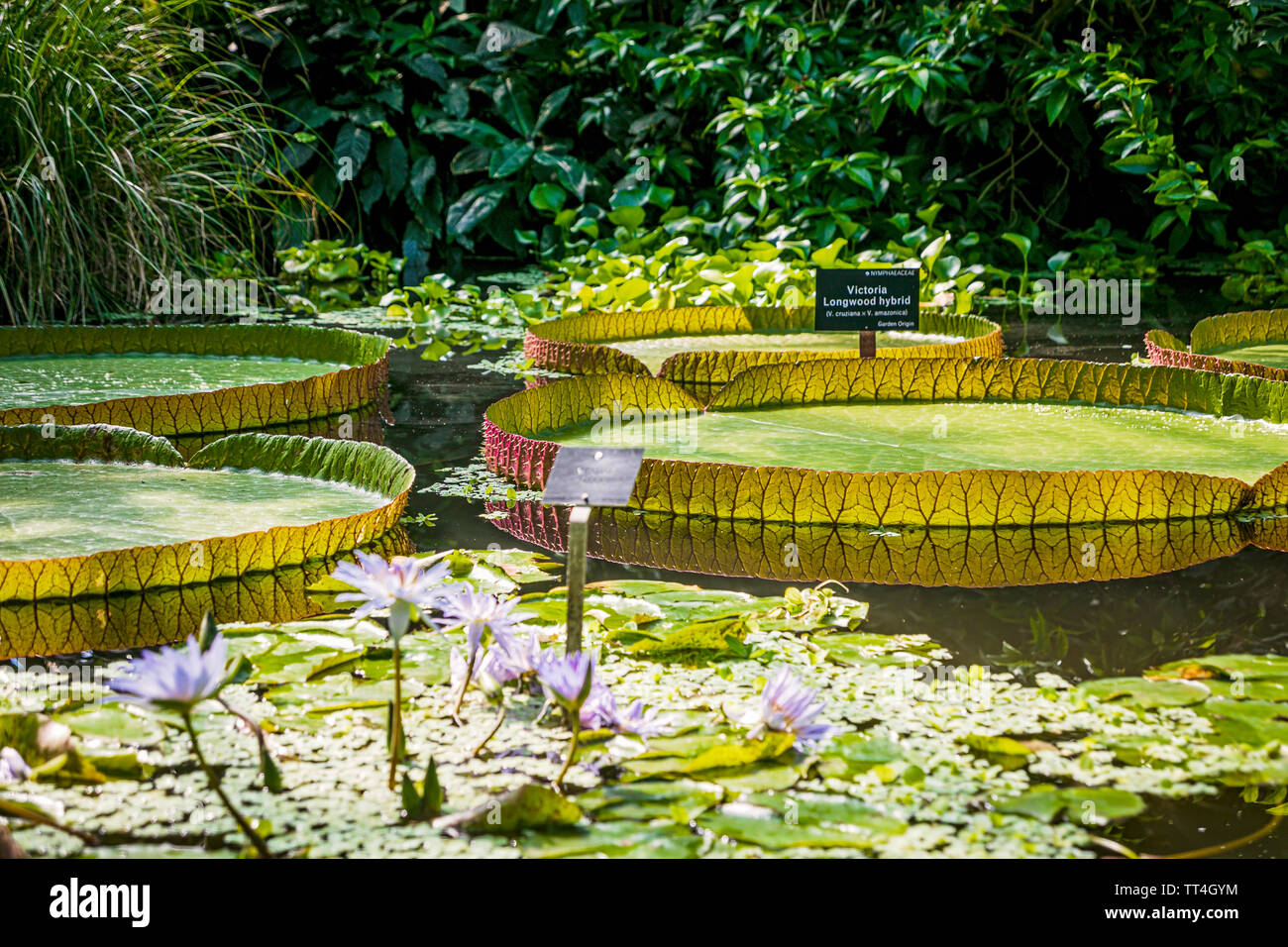 Victoria Longwood Hybrid Waterlilies in the Plants & People House at the Royal Botanic Garden, Edinburgh, Scotland. Stock Photo