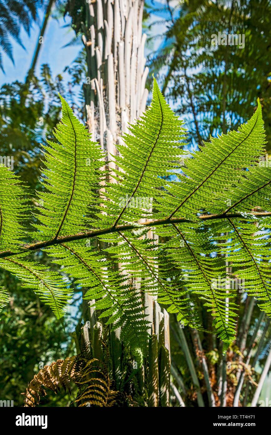Ferns in the Ferns & Fossils House at the Royal Botanic Garden, Edinburgh, Scotland. - Stock Image