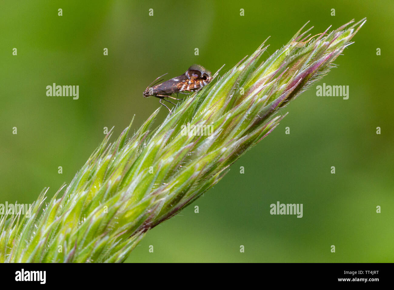 Cocksfoot moth (Glyphipterix simpliciella) - micro moth with metallic wings perched on a grass seed head, UK - Stock Image