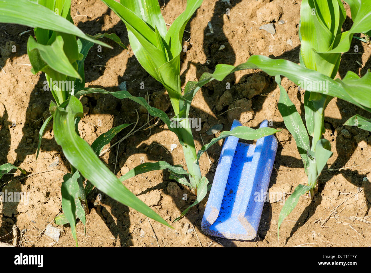 Pollution, a piece of plastic abandoned in a corn field, France Stock Photo