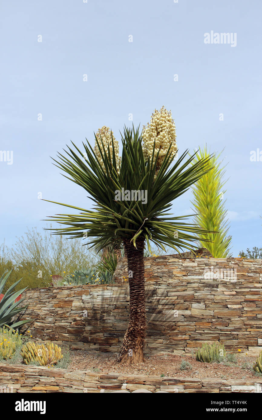 A desert landscape featuring a profusely flowering Mojave Yucca plant in front of a stone wall in Arizona, USA - Stock Image