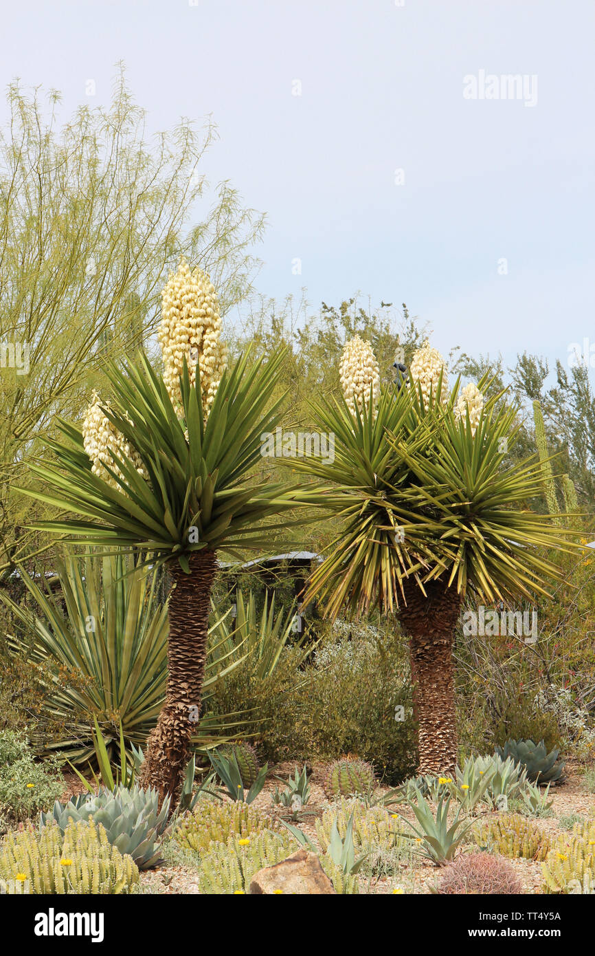 A desert landscape featuring a profusely flowering Mojave Yucca plants, aloe, Cereus cacti and a Palo Verde Tree in Arizona, USA - Stock Image