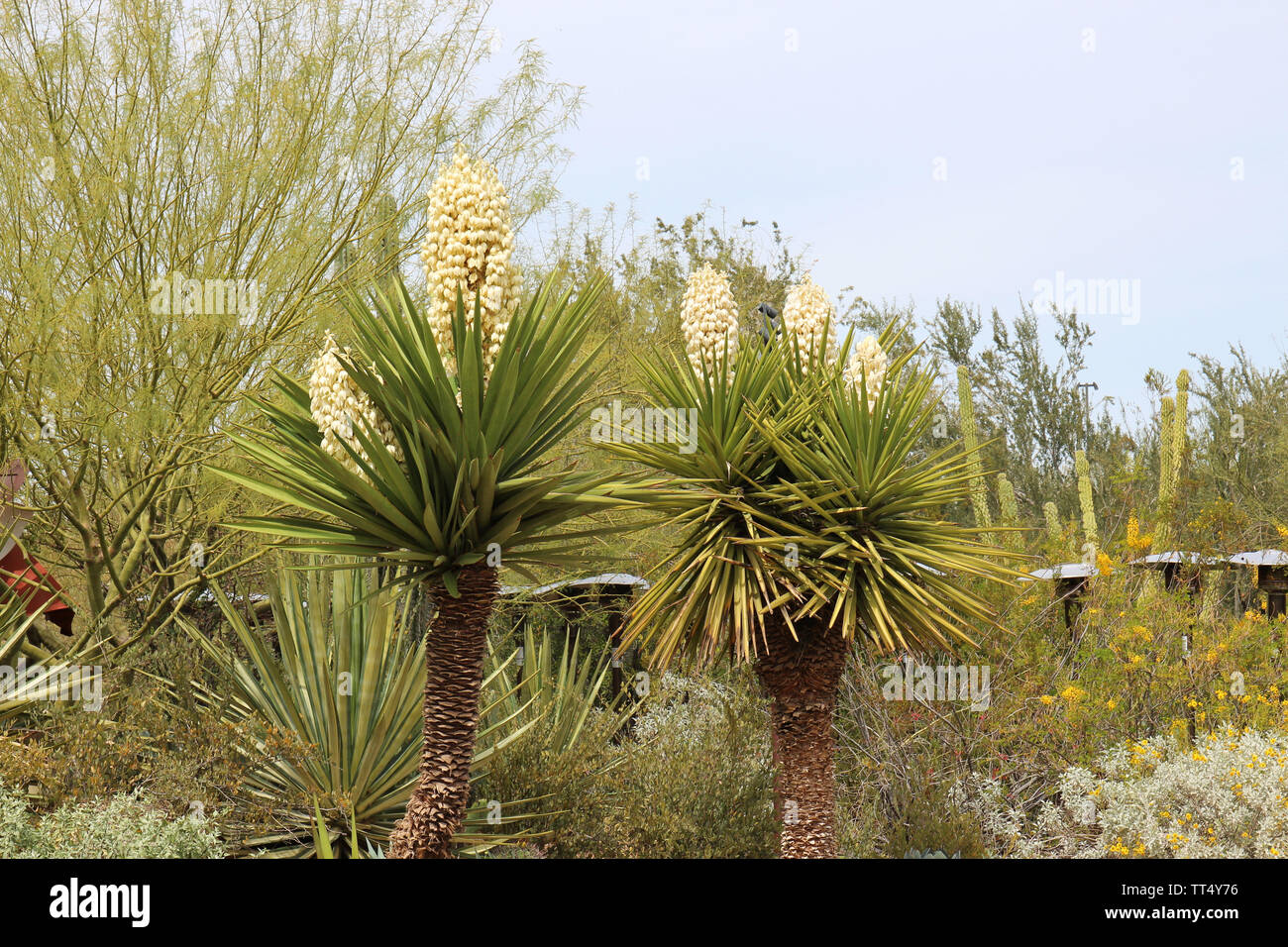 A desert landscape featuring profusely flowering Mojave Yucca plants, Desert Marigolds, various shrubs, and a Palo Verde Tree in Arizona, USA - Stock Image