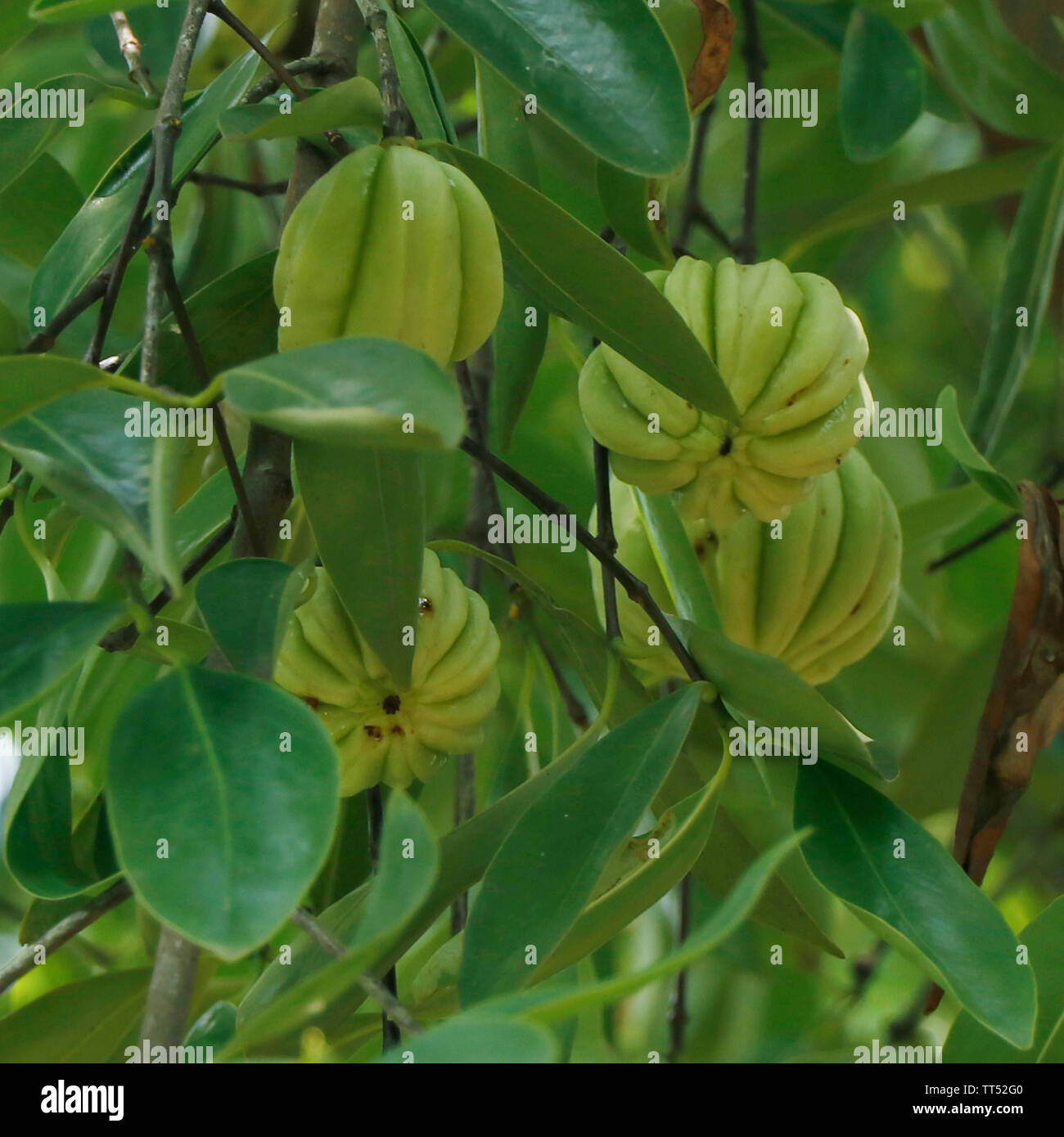 Garcinia Cambogia Fruit High Resolution Stock Photography And