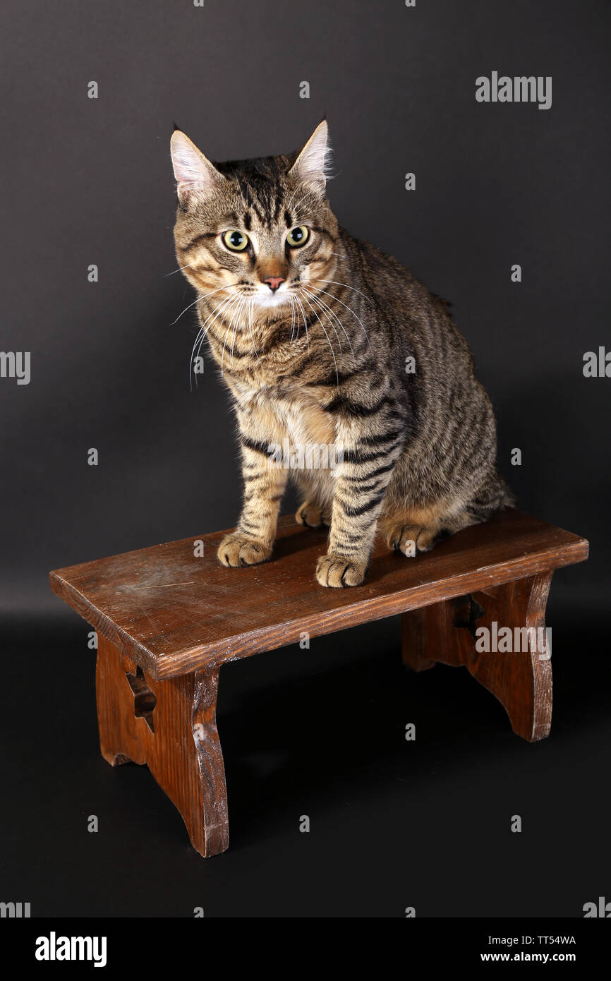 Astounding Grey Cat On Wooden Stool On Dark Background Stock Photo Ocoug Best Dining Table And Chair Ideas Images Ocougorg