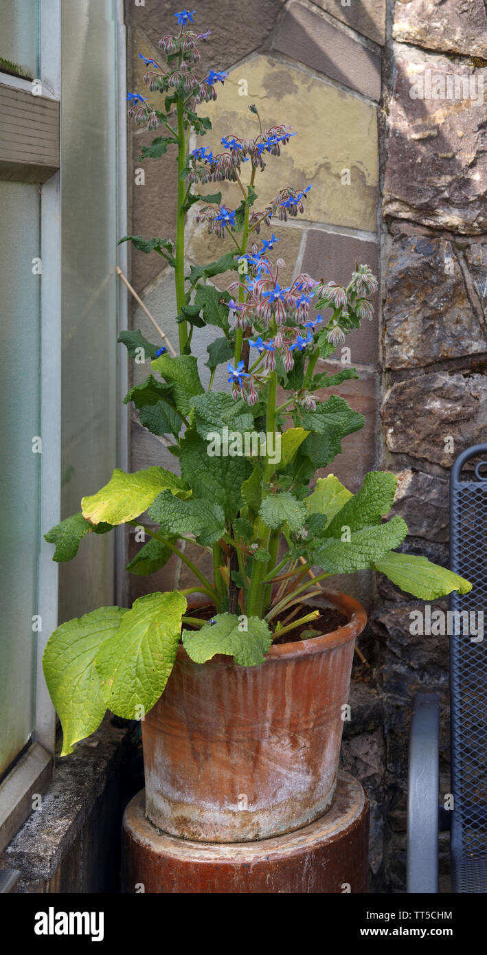 Borago officinalis in front of a stone wall next to a greenhouse - Stock Image