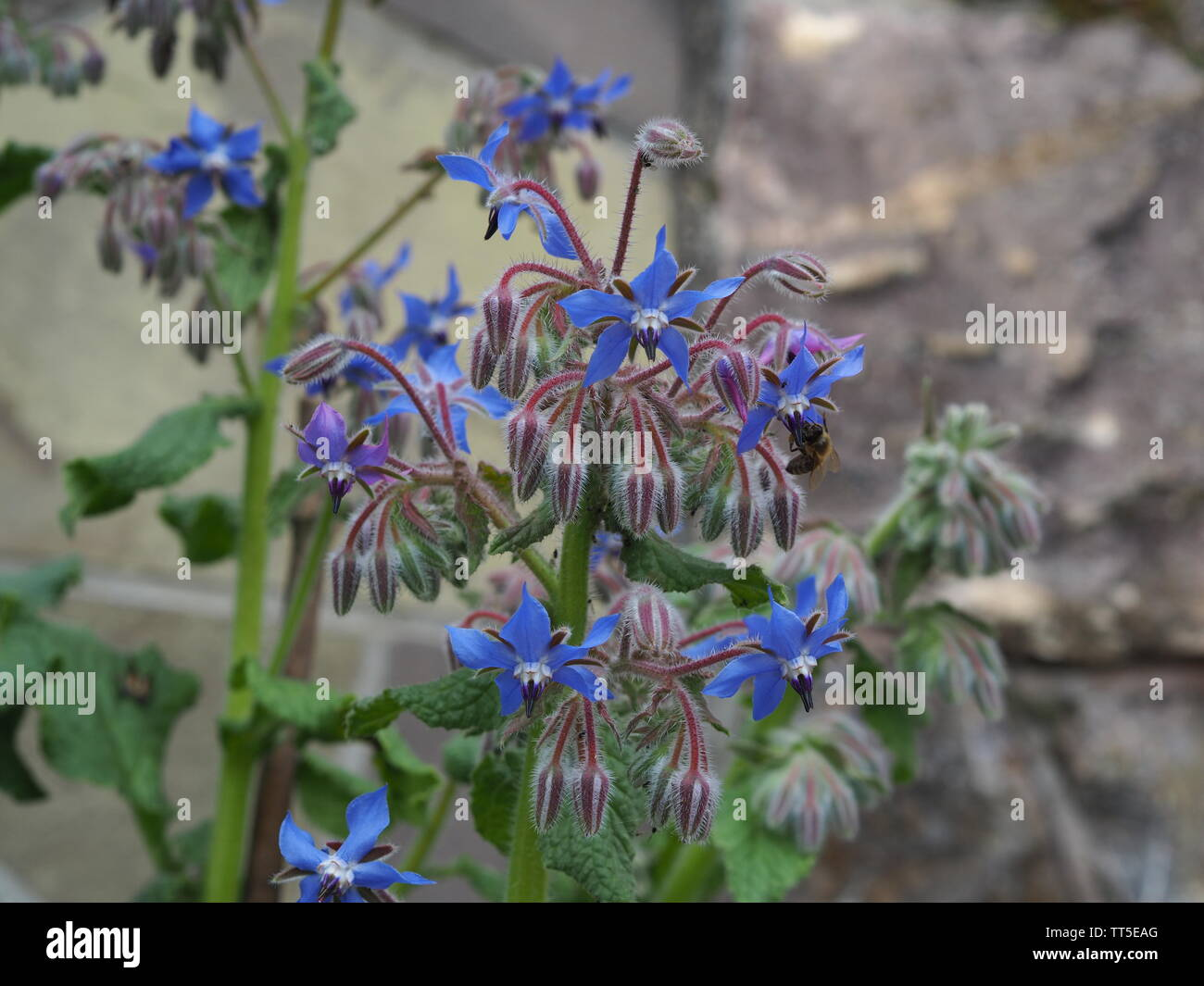 Close-up of a Borago officinalis in front of a stone wall next to a greenhouse - Stock Image