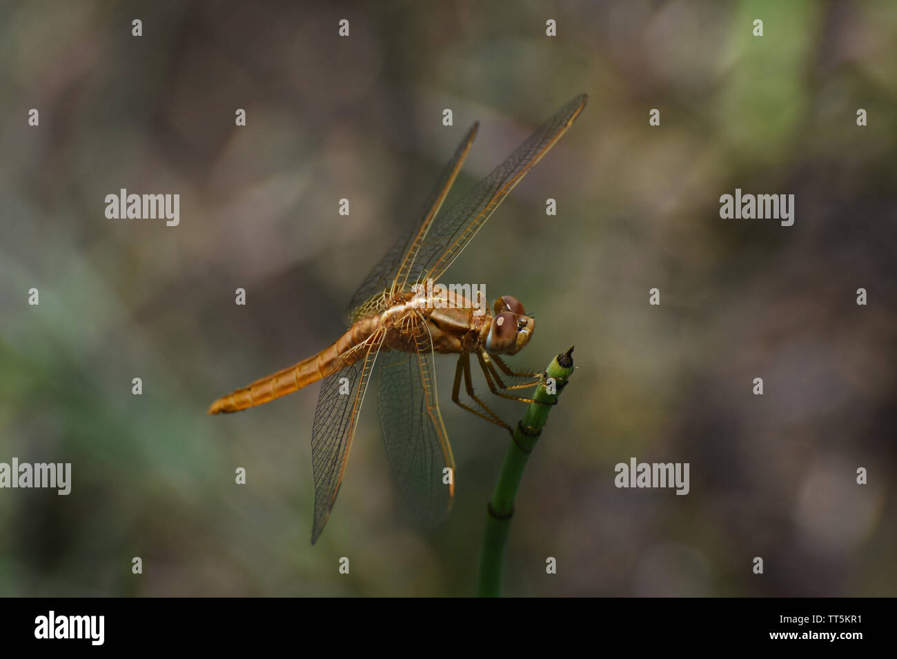 Large Broad Scarlet Dragonfly (Crocothemis erythraea) On Horsetail Grass Stock Photo